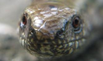 У підмосков`ї виявлено рідкісна ящірка