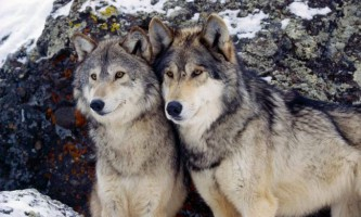 В польщу повернулися вовки, винищені півстоліття назад