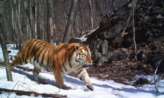 У примор`я вдалося зняти унікальне сімейство тигрів
