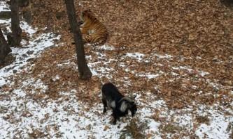 У приморському сафарі-парку козел вигнав тигра з його лігва