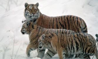 В росії і китаї зросла популяція амурських тигрів