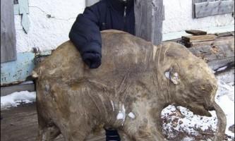В росії завершили консервацію знайденого мамонтеня