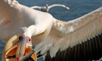 В румунії пелікан пожартував над місцевим жителем
