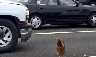 У сан-франциско заарештували курку, яка заблокувала дорожній рух