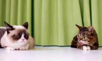 У мережі відбудеться прем`єра фільму про знаменитих кішок