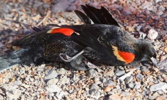 У штаті арканзас з неба впало 2000 мертвих птахів