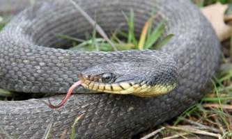 У штаті штат змія двічі за рік народила в результаті непорочного зачаття