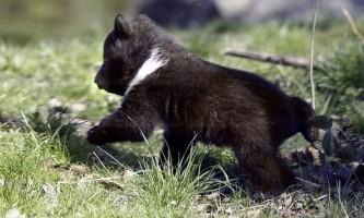 У швейцарському зоопарк приспали відкинутого батьками ведмедика