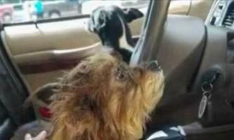 В сша дві собаки викрали автомобіль у пенсіонерки