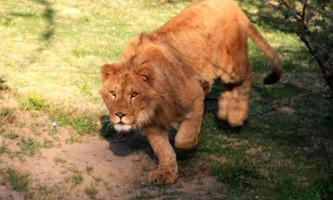 В сша лев кус-кус розтерзав дівчину-волонтера