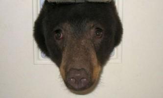 В сша ведмідь застряг в котячої двері
