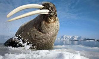 В сша розпочато розслідування у зв`язку із загибеллю 25 моржів на аляски