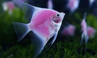 В сша виявлені рибки-меломани
