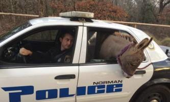 В сша осел прокотився в поліцейській машині