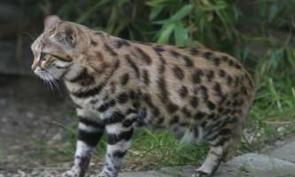 В сша народилися рідкісні кішки, зачаті з заморожених сперми і яйцеклітин