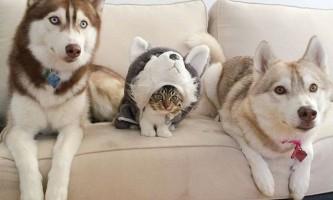 В сша сибірські хаскі удочерили кішку