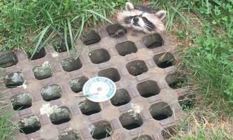 В сша врятували єнота, що застряг головою в решітці каналізації