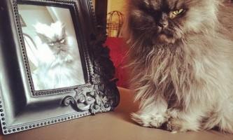 В сша помер кіт гімалайської породи по кличці полковник мяу