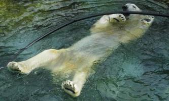 В сша помер найстаріший білий ведмідь