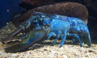 В сша виловили унікального синього омара