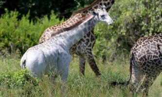 У танзанії знайшли білого жирафа і назвали його в честь миючого засобу