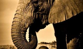 У танзанії слон врятував маленького хлопчика від мавп