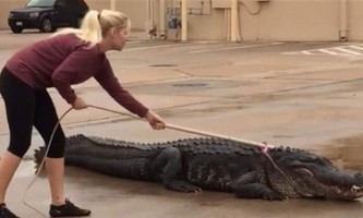 У техасі 360-кіллограммовий алігатор розгулював по торговому центру