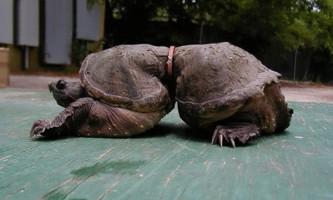 У тихому океані знайшли черепаху з найтоншою `` талією ``