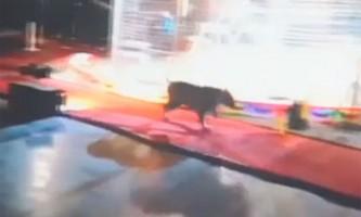 У вбиральні цирку американка зіткнулася зі збіглим тигром