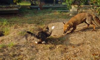 В удмуртії скажена лисиця нападала на домашніх тварин