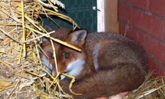 У великобритании зняли лисицю, висиджувати курячі яйця