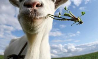 В вольські чоловік вкрав козу з колонії, а потім з`їв її
