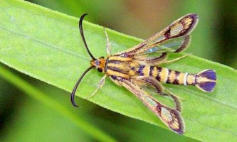 У воронезькому заповіднику виявлено новий вид метеликів