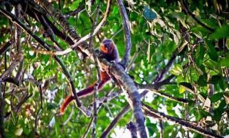 У західній бразилии виявлено новий вид мавп