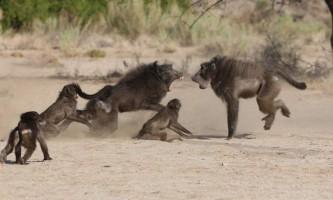 У зимбабве бабуїни вивели з ладу радіостанцію