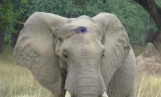 У зимбабве слону довелося кілька тижнів проходити з кулею в лобі