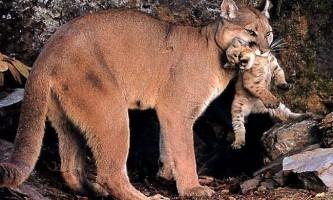 У зоопарку барнаула канадські пуми народили кошенят