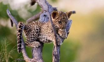 У зоопарку цинциннаті подружилися антилопа і леопард