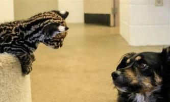 """У зоопарку цинциннаті, собака """"всиновила"""" дитинчат гепарда"""