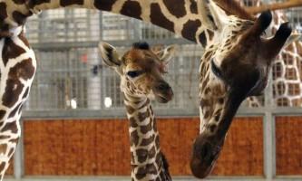 У зоопарку далласа помер дитинча жирафа, народжений «онлайн»