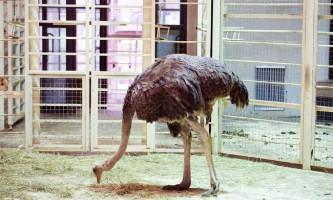 У зоопарку флориди відвідувач вирішив перевірити: ховають чи страуси від страху голову
