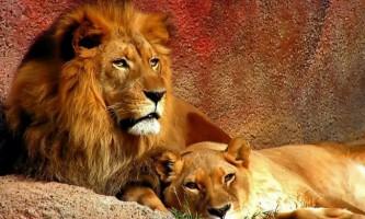 У зоопарку міста сантьяго, щоб врятувати самогубця, застрелили двох левів