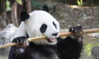 У зоопарку китаю живе панда- «двірник»