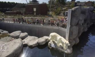 У зоопарку копенгагена відвідувач стрибнув у вольєр до білому ведмедю