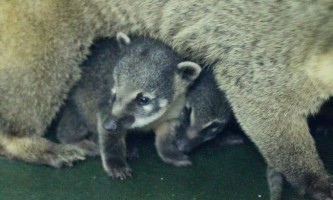 У зоопарку красноярська показали дитинчат коати (носух)