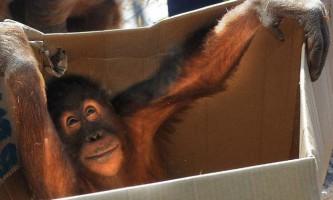 У зоопарку мельбурна орангутанг втік з клітки