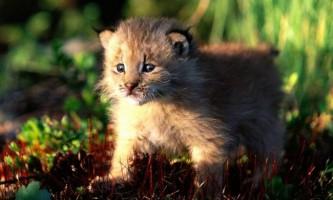 У зоопарку новосибірська домашня кішка вигодувала рисі