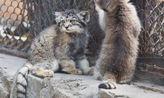 У зоопарку новосибірська показали дитинчат манула