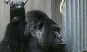 У зоопарку огайо в вольєр з горилою впала дитина