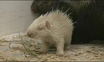 У зоопарку пензи народився білий дикобраз